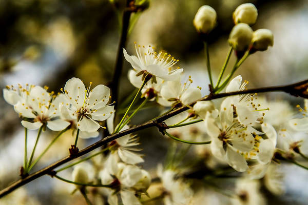 Photograph - Spring Beauty - Dogwood Blossoms by Barry Jones