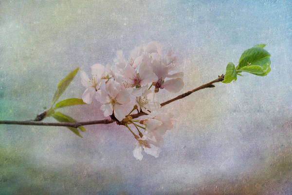 Photograph - Spring Beauty by Kim Hojnacki