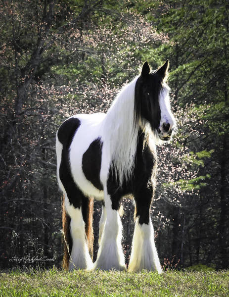 White Horse Photograph - Spring Beauty by Terry Kirkland Cook