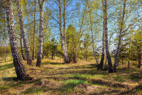 Photograph - Spring Birch Trees by Victor Kovchin