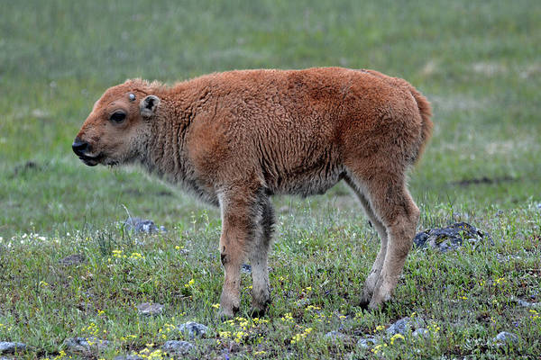 Photograph - Spring Bison Calf And Flowers by Bruce Gourley