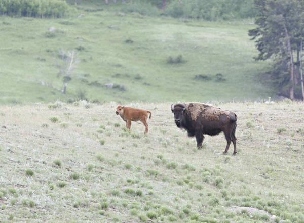 Photograph - Spring Bison In Yellowstone by Dan Sproul