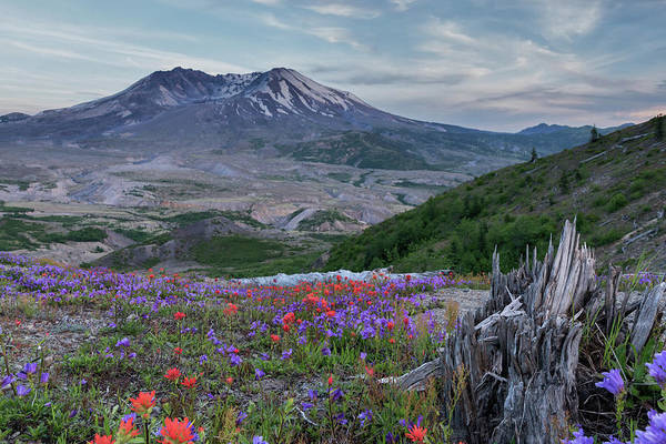 Photograph - Spring Bloom Mt St Helens by Harold Coleman