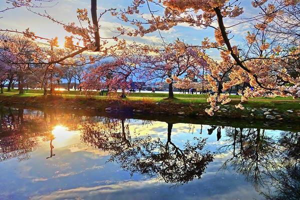 Photograph - Spring Bloom On The Esplanade And Sunset Reflection by Toby McGuire