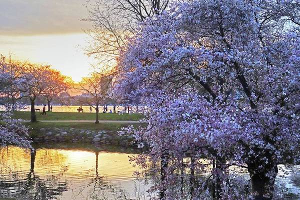 Photograph - Spring Bloom On The Esplanade And Sunset by Toby McGuire