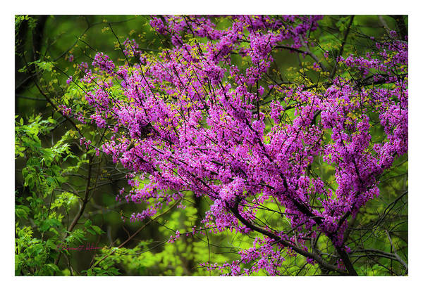 Photograph - Spring Blooms by Edward Peterson