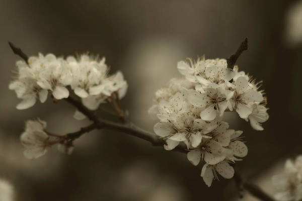 Photograph - Chickasaw Sand Plum by CE Haynes
