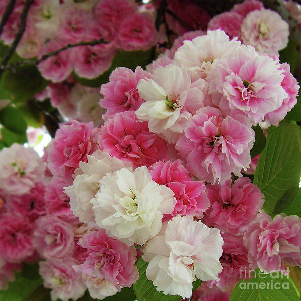 Photograph - Spring Blossom 3 by Xueling Zou