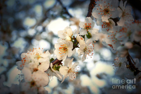Photograph - Spring Blossom by Dimitar Hristov