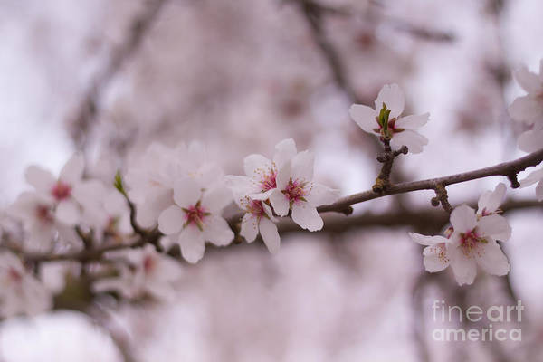 Photograph - Spring Blossoms by Ana V Ramirez