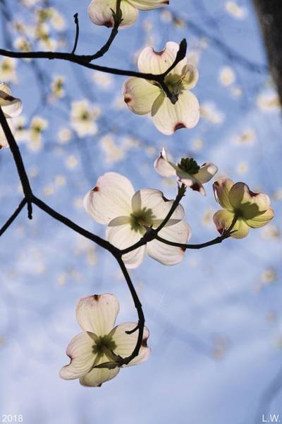 Photograph - Spring Blossoms In The Sky by Lisa Wooten