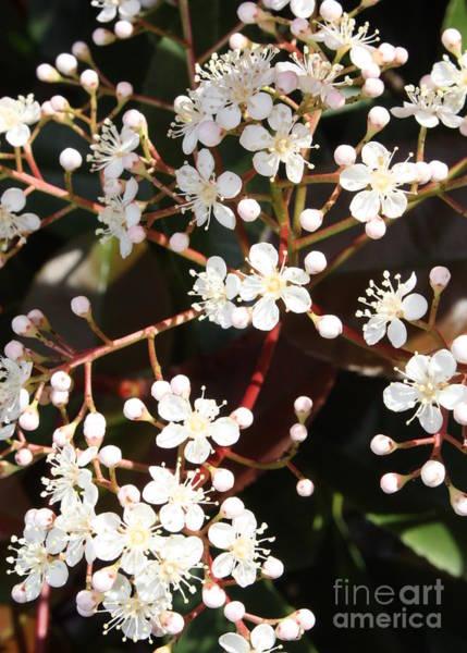 Macor Photograph - Spring Blossoms Macro by Carol Groenen