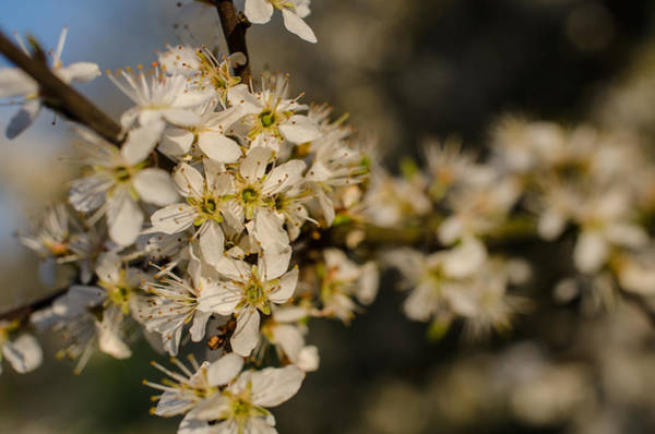 Photograph - Spring Blossoms by Miguel Winterpacht