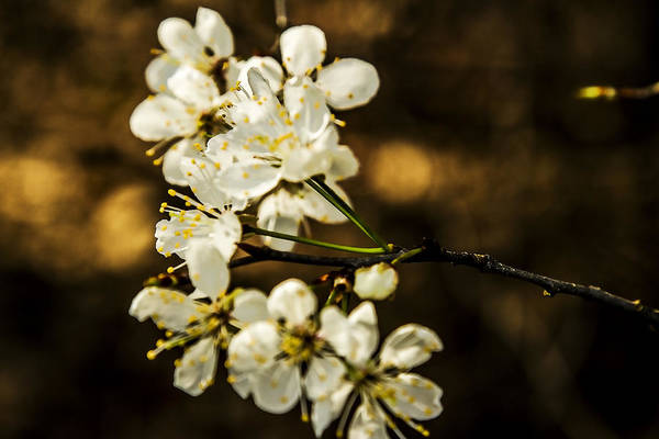 Photograph - Spring Blossoms - Nature's Bouquet by Barry Jones