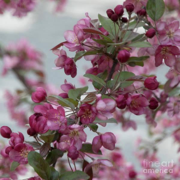 Photograph - Spring Blossoms by PJ Boylan