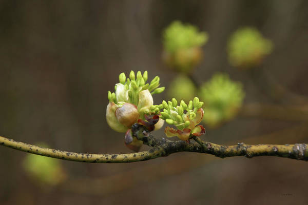 Photograph - Spring Buds 9365 H_2 by Steven Ward