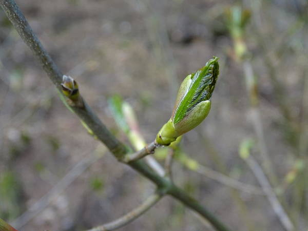 Photograph - Spring Buds by Mhiss Little