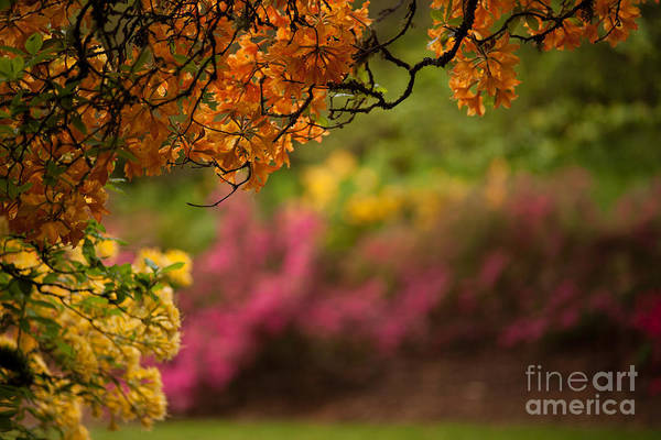 Rhododendrons Photograph - Spring Canopy by Mike Reid
