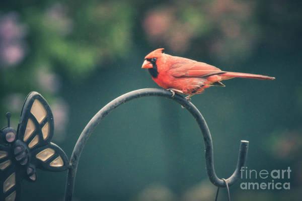 Photograph - Spring Cardinal by Viviana  Nadowski