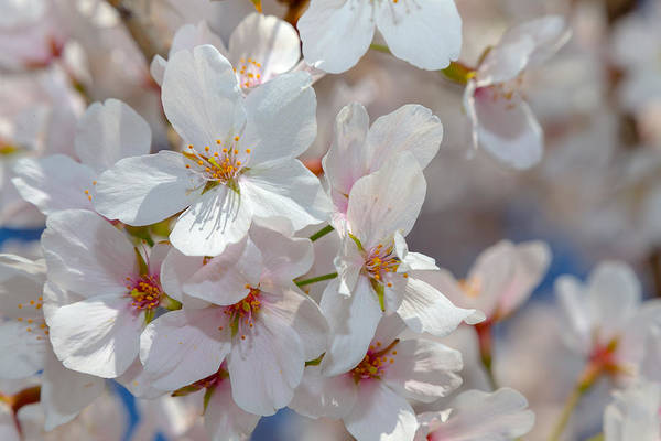 Photograph - Spring Cherry Blossoms by SR Green