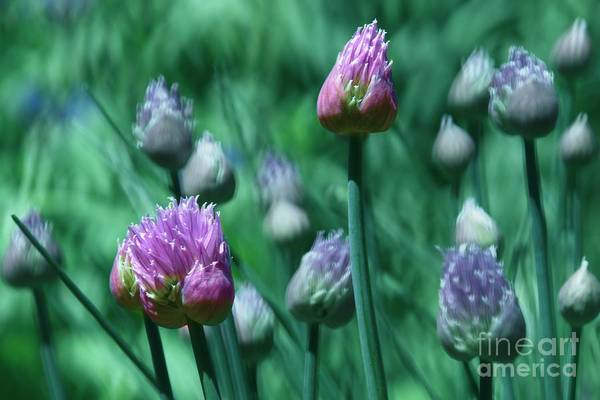 Wall Art - Photograph - Spring Chives by Mary Machare