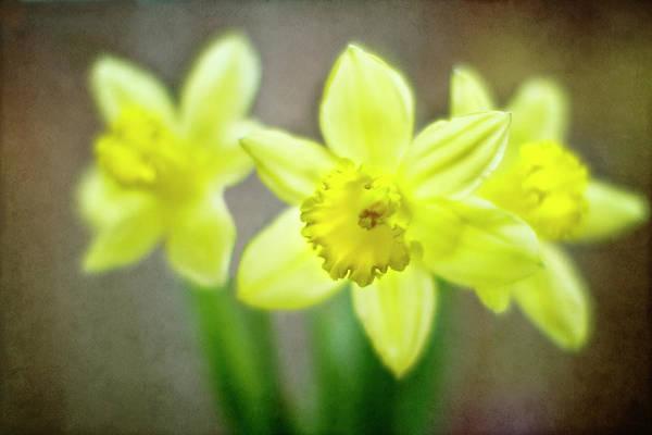 Daffodils Photograph - Spring Chorus by Rebecca Cozart