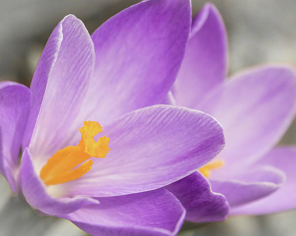 Photograph - Spring Crocus Close-up by Patti Deters