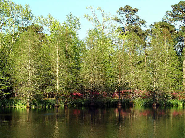 Photograph - Spring Cypress by Ree Reid
