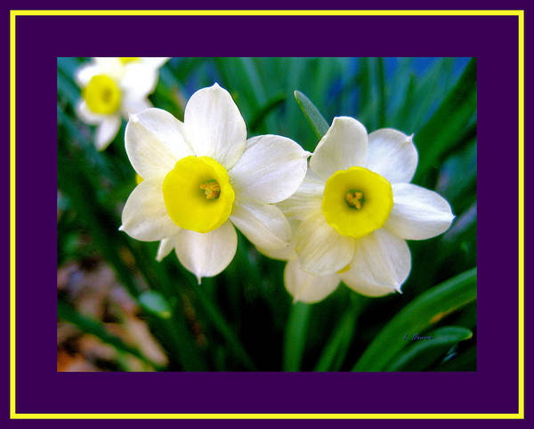 Wall Art - Photograph - Spring Daffodills With Triple Contrasting Border by L Brown