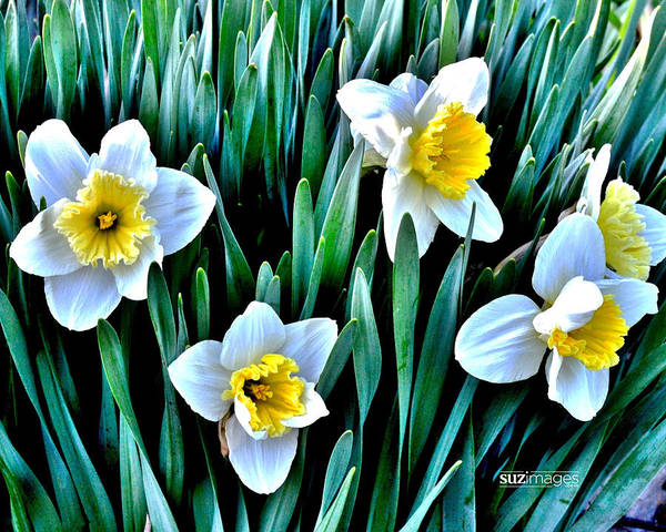 Photograph - Spring Daffodil's by Susie Loechler