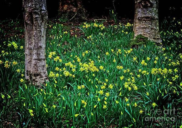 Spring Daffoldils Art Print