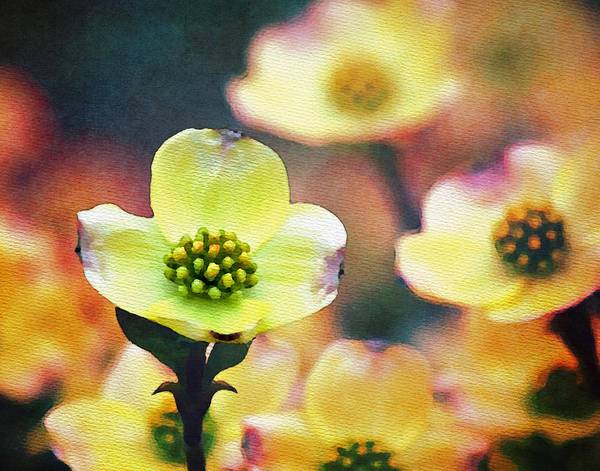 Dogwoods Photograph - Spring Dogwood by Moon Stumpp