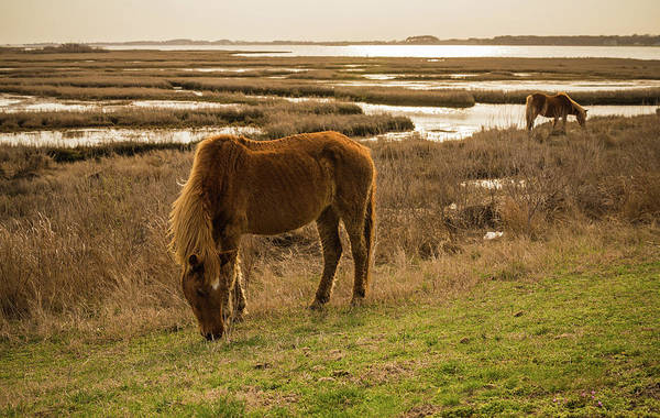 Assateague Island Photograph - Spring Eats by Kristopher Schoenleber