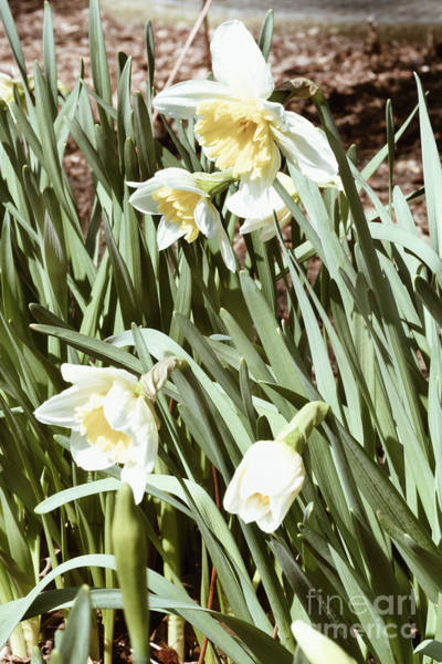 Photograph - Spring Essential Narcissus by Marina Usmanskaya