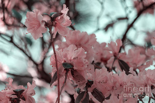 Photograph - Spring Essential Rhododendren by Marina Usmanskaya
