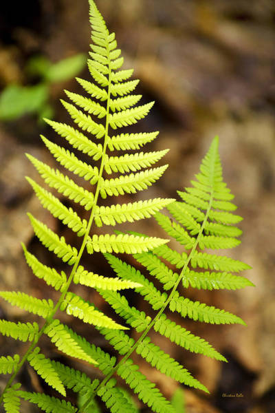Photograph - Spring Ferns by Christina Rollo
