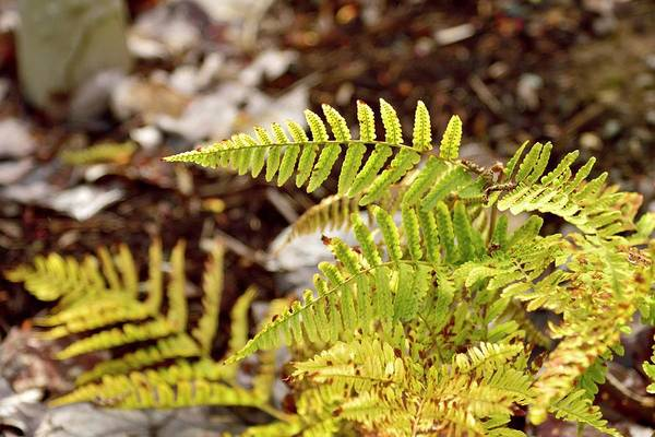 Photograph - Spring Ferns by Jerry Sodorff