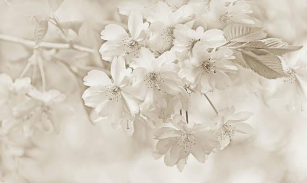 Wall Art - Photograph - Spring Flower Blossoms Soft Brown by Jennie Marie Schell