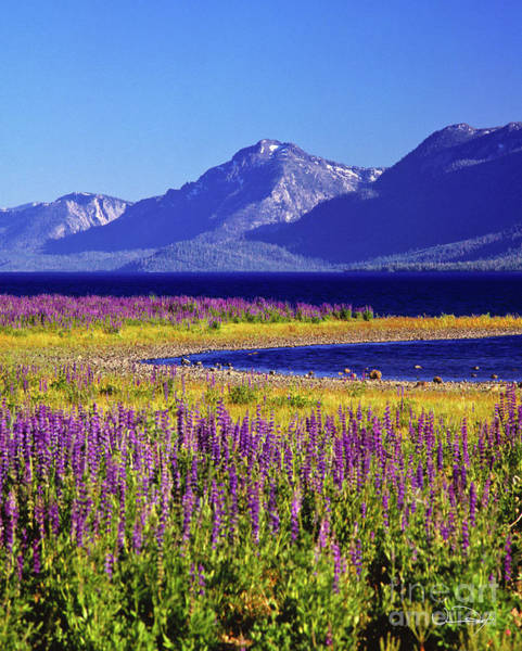 Wall Art - Photograph - Spring Flowers Lake Tahoe by Vance Fox