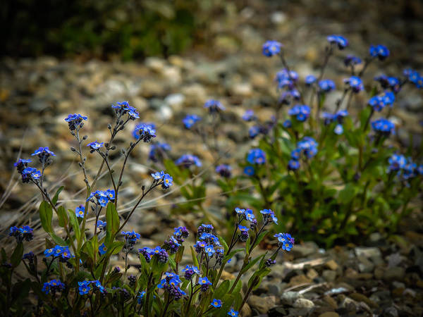 Photograph - Spring Forget-me-nots by James Truett