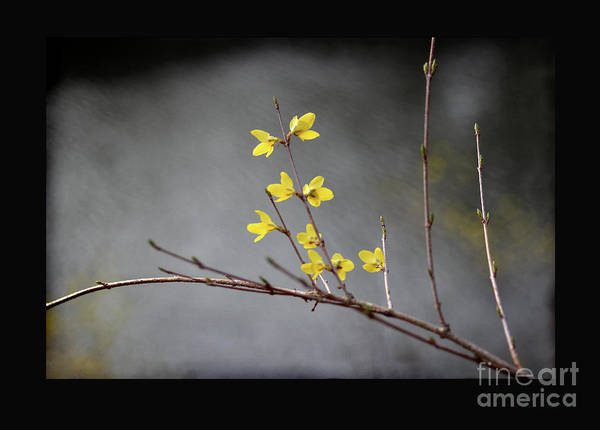 Photograph - Spring Forsythia With Black Border by Karen Adams