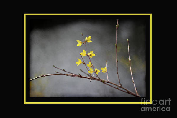 Photograph - Spring Forsythia With Yellow Border by Karen Adams