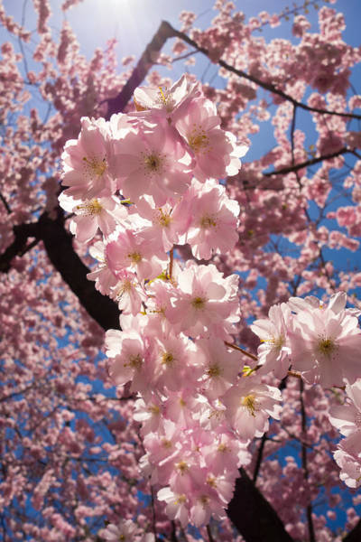 Photograph - Spring Galore - Pink Cherry Blossoms by Matthias Hauser