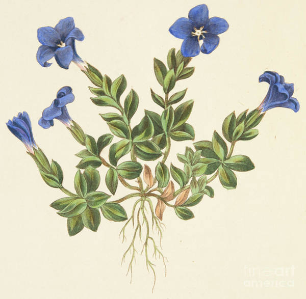 Wall Art - Drawing - Spring Gentian by Margaret Roscoe