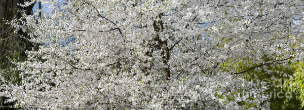 Rosaceae Wall Art - Photograph - Spring Glory by Tim Gainey