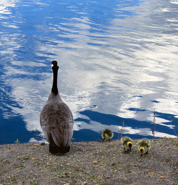 Mother Goose Photograph - Spring Goslings And Mother Goose by Daniel Hagerman