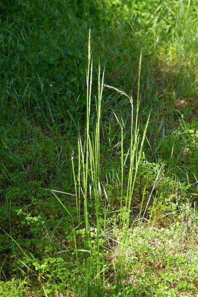 Photograph - Spring Grass by Michele Myers