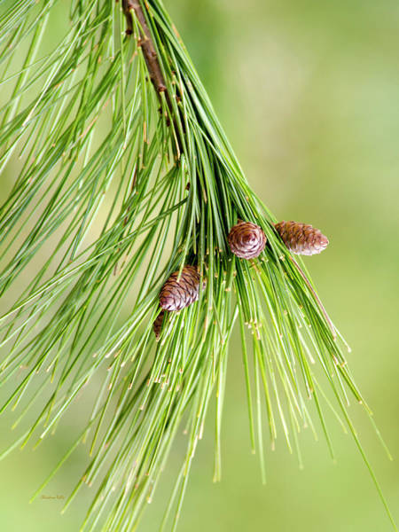 Photograph - Spring Green Pine by Christina Rollo