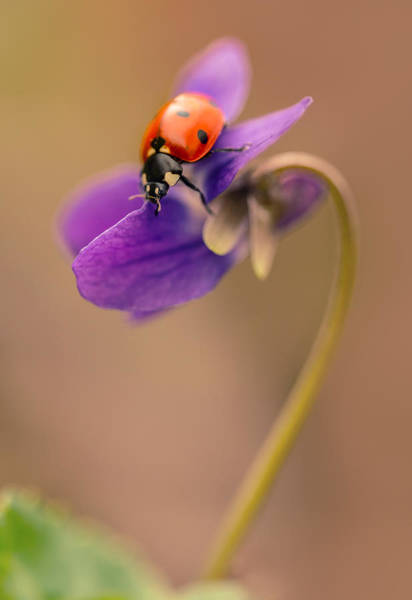 Nature Wall Art - Photograph - Spring Impression With Ladybug by Jaroslaw Blaminsky
