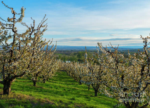 Orchard Photograph - Spring In The Orchard by Mike Dawson